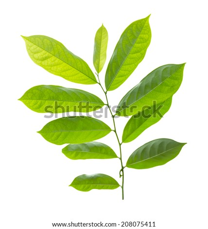 green leaf isolated on white background  ,Clipping path  - stock photo