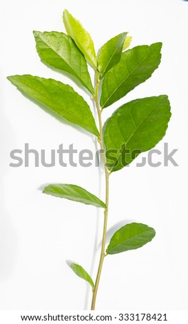 green leaf isolated on white background -Siamese rough bush leaf
