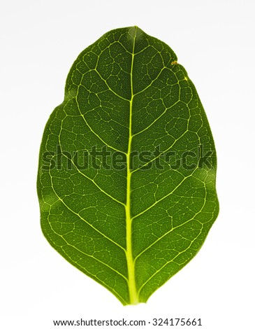 Green leaf isolated on white extreme closeup with leaf veins highly visible - stock photo
