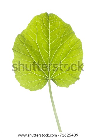 Green leaf isolated with clipping path - stock photo