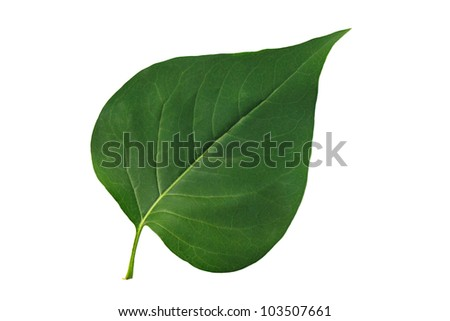 Green leaf lilac isolated on white background