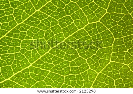 Green Leaf  Macro - Great Detail (fractal patterns) - stock photo