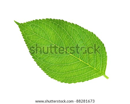 green leaf , macro, isolated on white