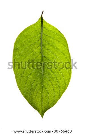 green leaf macro texture - stock photo