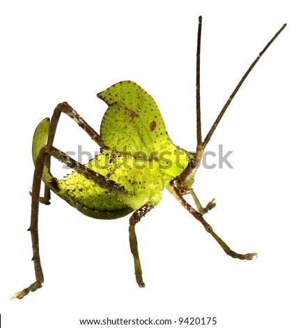 Green leaf mimic katydid - stock photo
