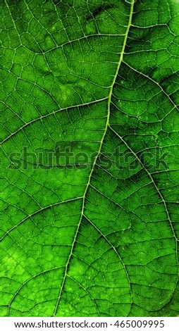 Green leaf nervuri in close view against light