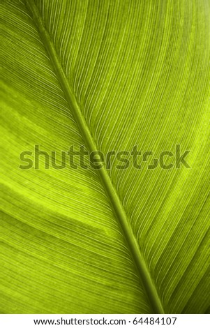 green leaf of a banana tree - stock photo