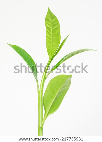 Green leaf of a plant on white background - stock photo