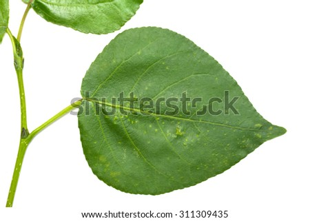 green leaf of a tree on a white background