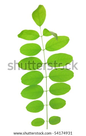 Green leaf of acacia . Design Element - stock photo