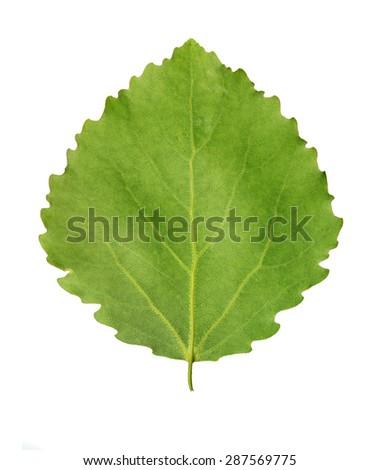 Green leaf of aspen (Populus tremula) isolated over white background - stock photo