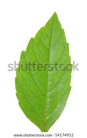 Green leaf of chestnut . Design Element - stock photo