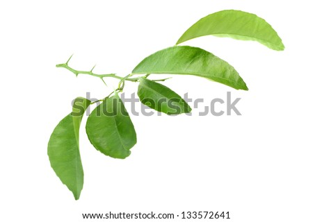 Green leaf of citrus-tree on branch with thorns. Isolated on white background. Close-up. Studio photography.