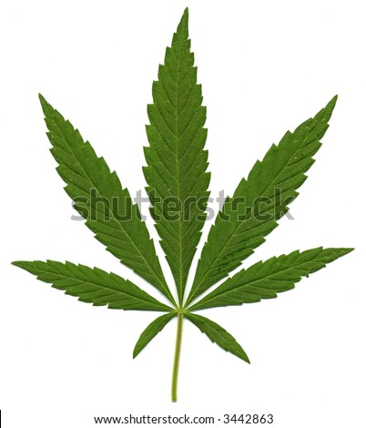 Green leaf of Hemp (Cannabis,  marijuana) isolated on the white Background. High resolution. - stock photo