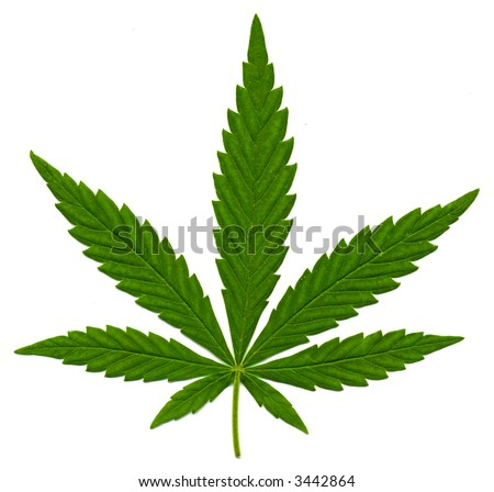 Green leaf of Hemp (Cannabis, marijuana) isolated on the white Background. High resolution. - stock photo