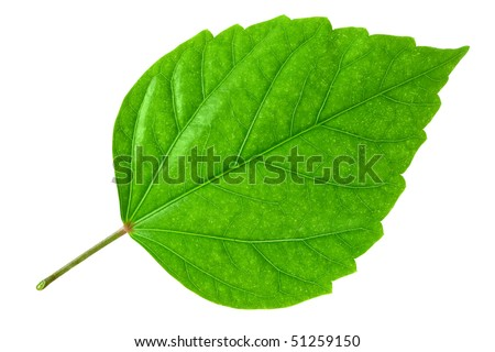 Green leaf of Hibiscus; closeup on white background - stock photo