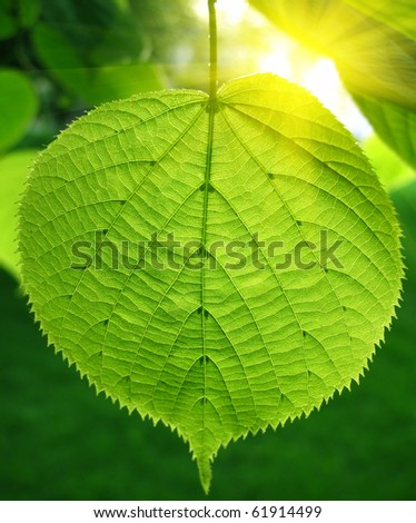 green leaf of linden tree glowing in sunlight - stock photo