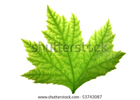 Green leaf of maple - stock photo