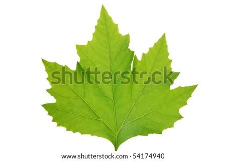Green leaf of maple . Design Element - stock photo