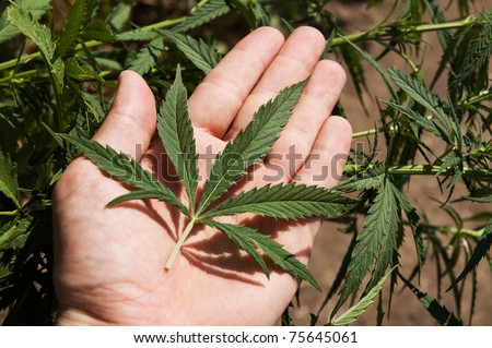 green leaf of marijuana in a hand - stock photo