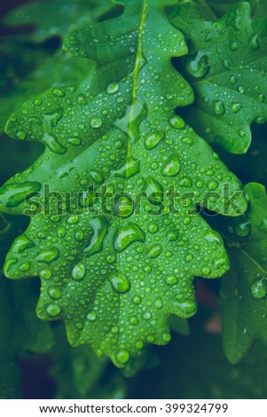 Green leaf of oak covered by water drops of dew.  Freshness morning dew on young leaves. Close-up photo. - stock photo