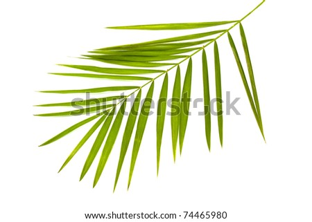 green leaf of palm tree isolated on white - stock photo