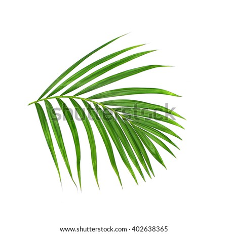 Green leaf of palm tree on white background - stock photo