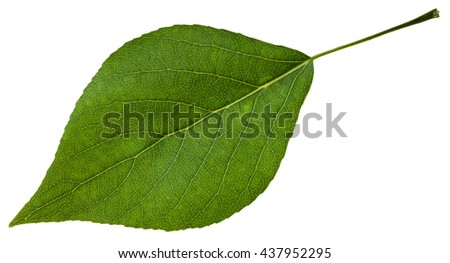 green leaf of Populus canadensis ( Canadian poplar, hybrid of Populus nigra and Populus deltoides) isolated on white background