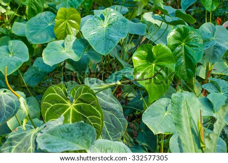 Green leaf of tropical plant.Tropical plants green background. Lush, natural foliage. - stock photo