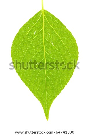 green leaf on a white - stock photo