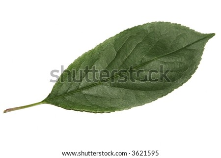 green leaf over white background