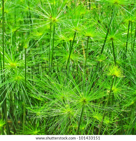 Green Leaf Papyrus - stock photo