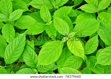 Green leaf plant in the garden as a background