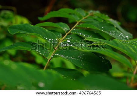 Green leaf texture. Acacia leaf with raindrops. Green leaf with water drops, macro, nature background