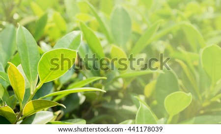 green leaf texture background and material concept - close up beautiful green leaf in sunset in morning with copyspace