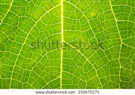Green leaf texture close up studio shot with back light - stock photo