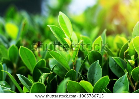 Green leaf texture, Leaf texture background, plantation in morning