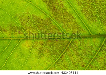 Green Leaf Texture Over White Background/ Leaf Texture - stock photo