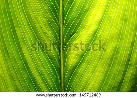 Green leaf vein - stock photo