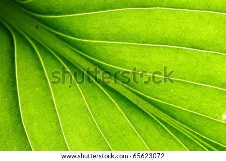 green leaf vein - stock photo