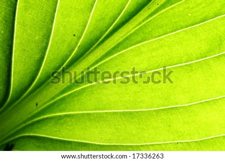 green leaf vein macro close up - stock photo