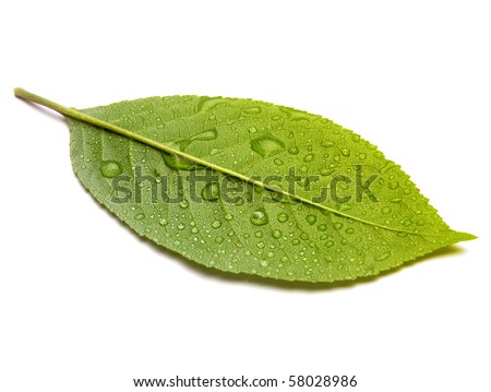 green leaf with drops isolated on white - stock photo