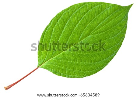 Green leaf with red stem. Isolated on white background. - stock photo
