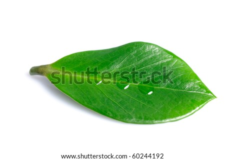 Green leaf with three waterdrops isolated on white - stock photo