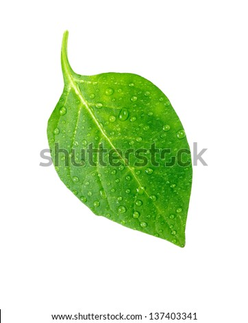 Green leaf with water droplets,Closeup. - stock photo