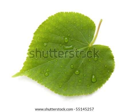 Green leaf with water drops. Isolated on white background - stock photo