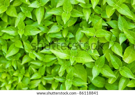 Green leafs background focusing on the center leaf,can be use for health/wellness related concept design and background of presentation.