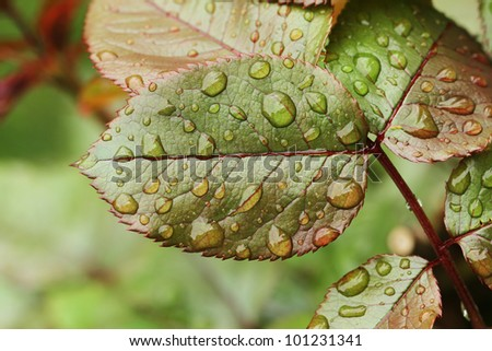 Green leafs with water droplets detail