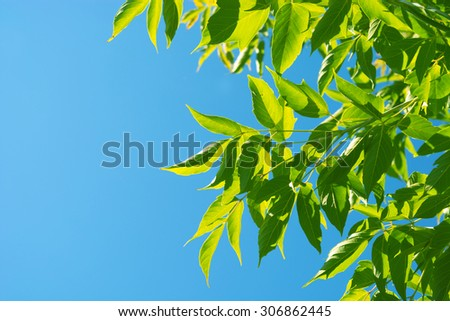 Green leaves against the blue sky. Leaves maple - stock photo