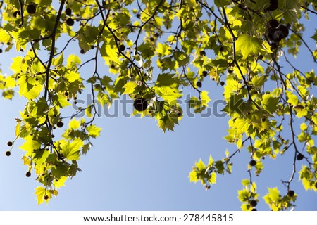 Green leaves against the clear blue sky - stock photo
